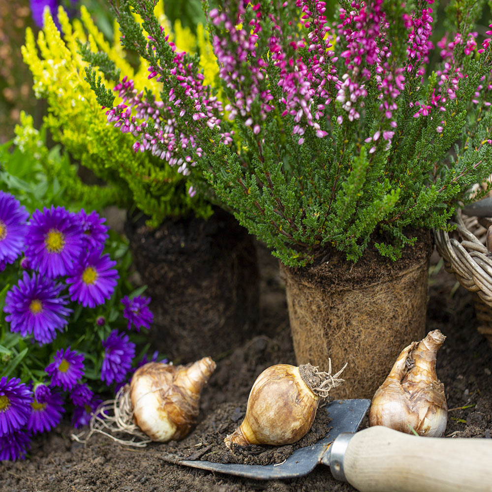 Flower bulbs surrounded by purple and pink blooms.