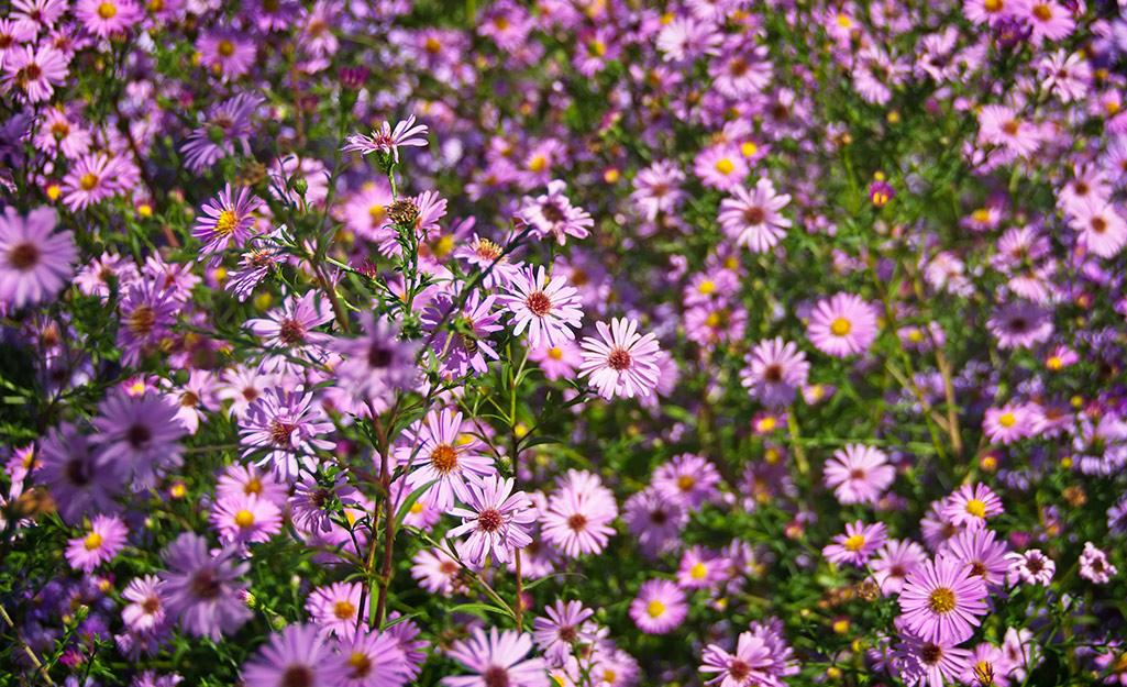 Purple asters in a garden