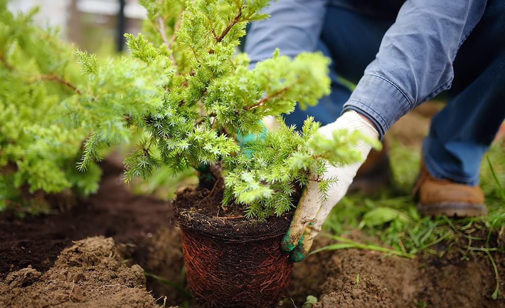 Gardener plants a shrub in soil.