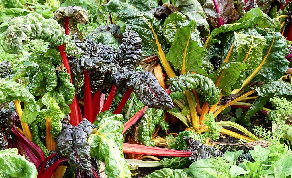 Colorful rainbow chard in the garden