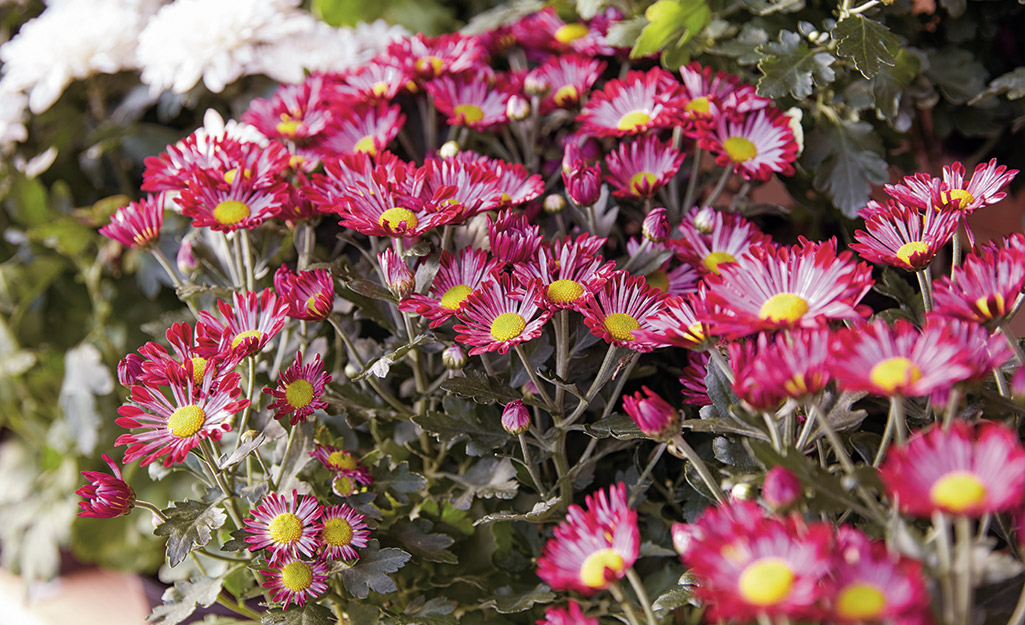 Pink asters in the garden