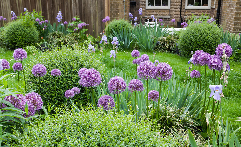 Alliums in a flower bed