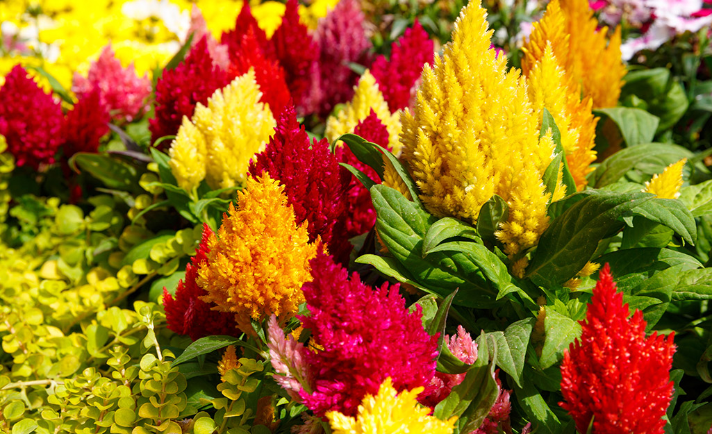 Colorful plumes of celosia