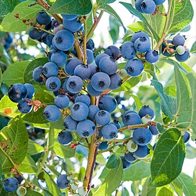 Fertilize and Mulch for Better Berries