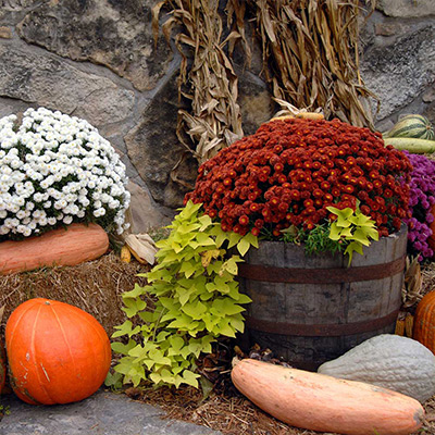 Fall display of mums in planters with pumpkin