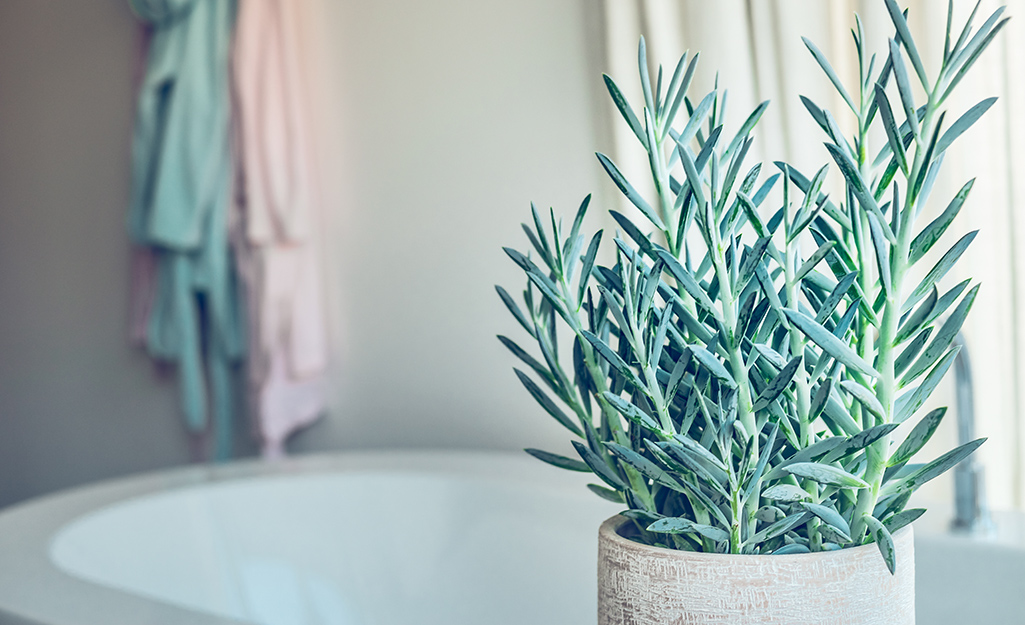Blue Chalk Sticks succulents in container.