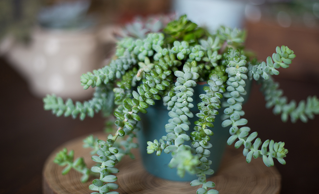 Donkey's tail succulent.