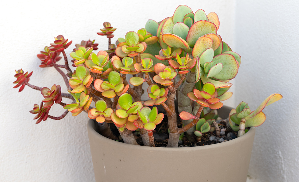 Little jewel succulent in a container.