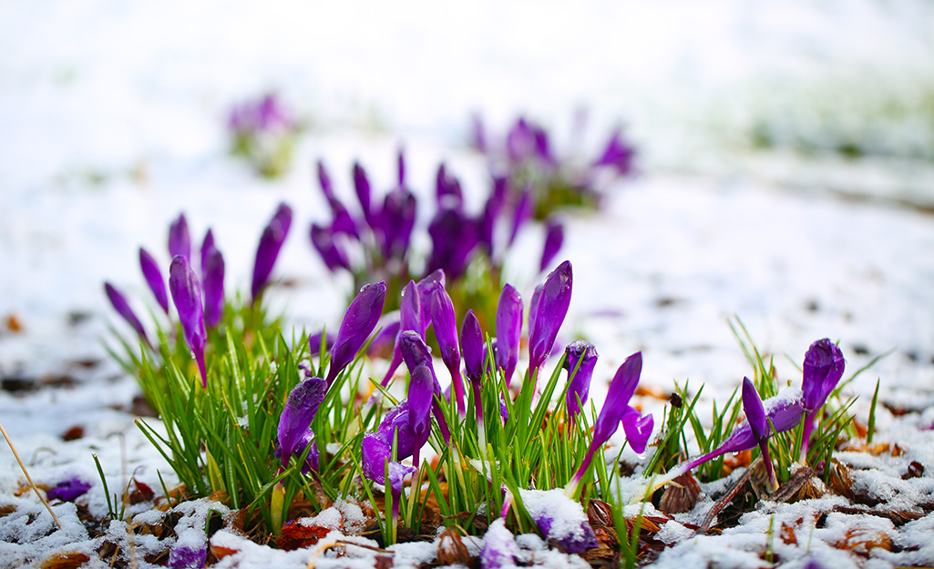 Crocus emerging from the snow
