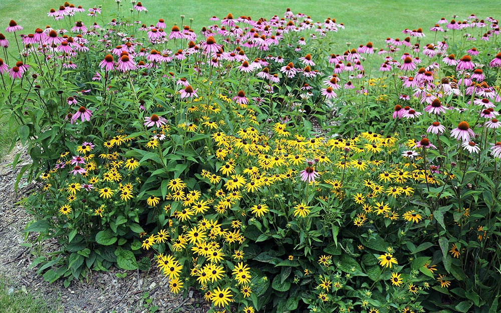 Coneflowers and Black-eyed Susans in a flower bed.