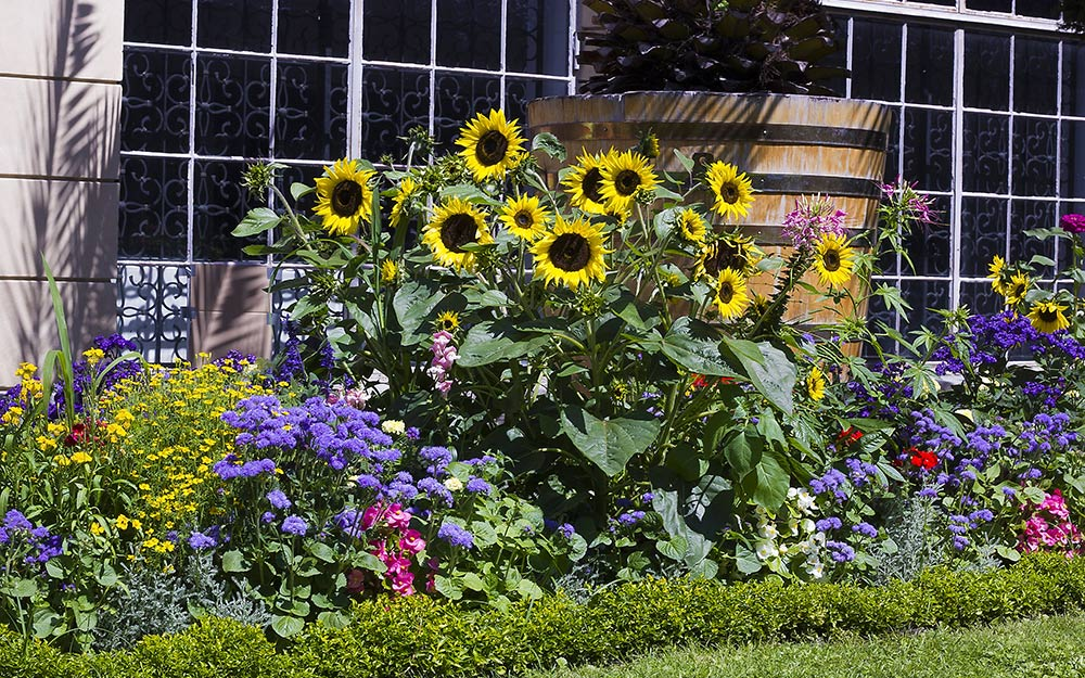 Tall sunflowers in bloom in a garden bed.