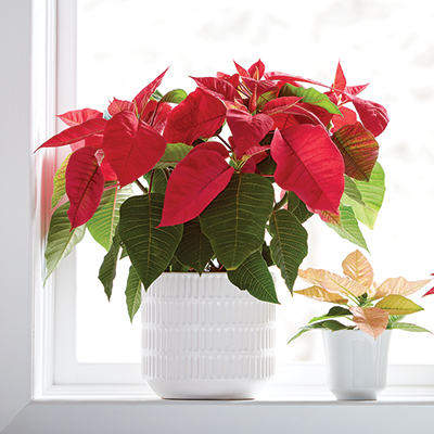 Red poinsettia in a white container in a bright window