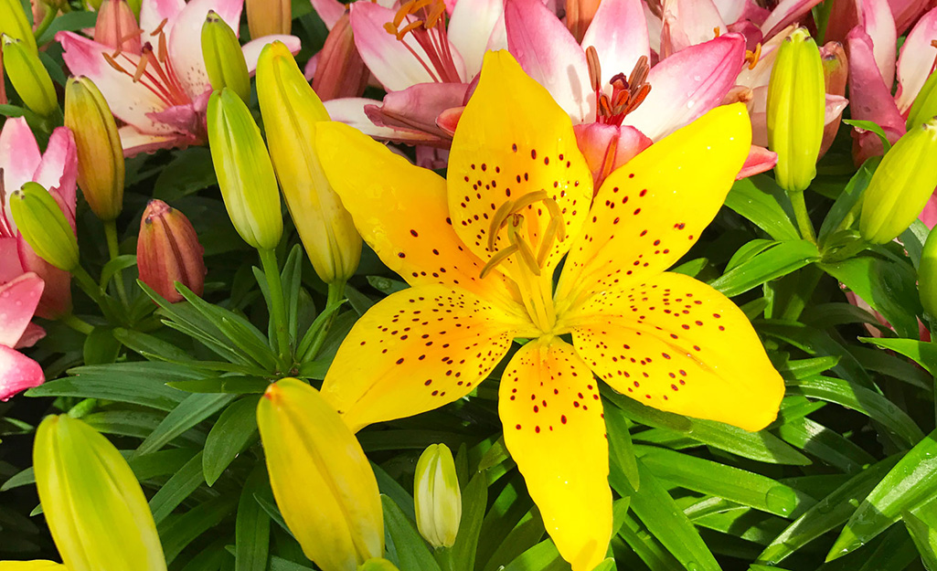 Yellow lilies with pink lilies