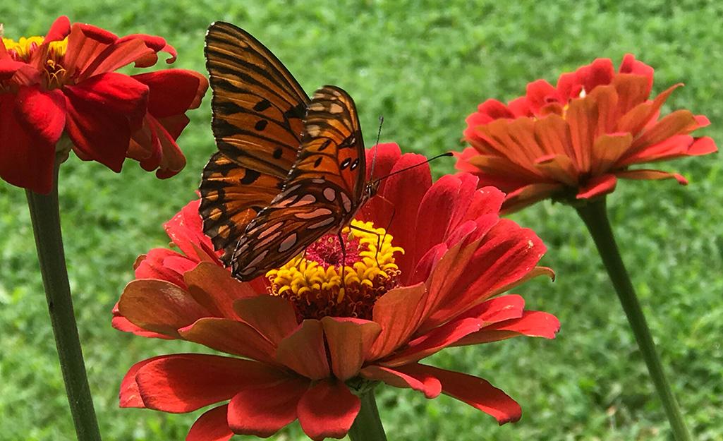 Monarch butterfly landing on red zinnia