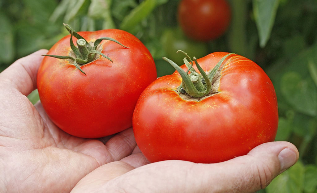 Gardener holds red ripe tomatoes