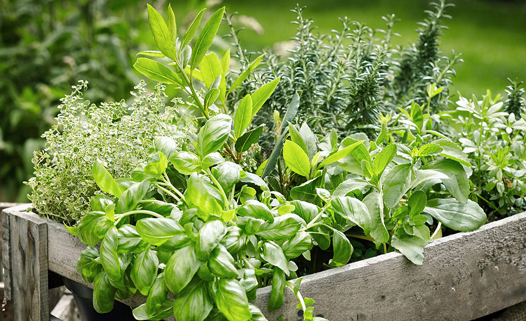 Raised garden bed with basil and more herbs