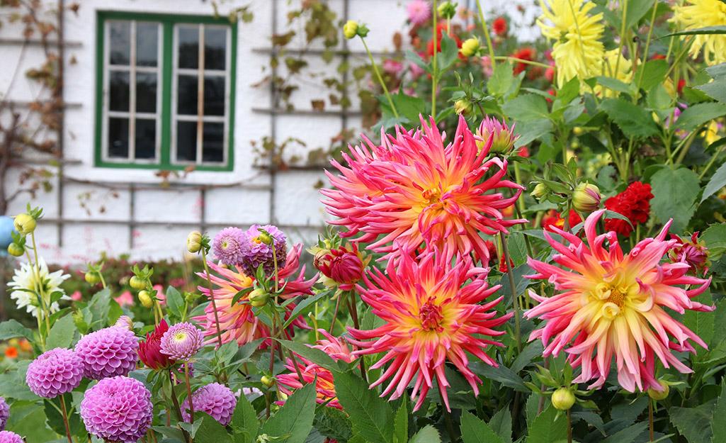 Pink dahlias by a window