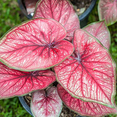 Get a Kick Out of Caladiums in Containers