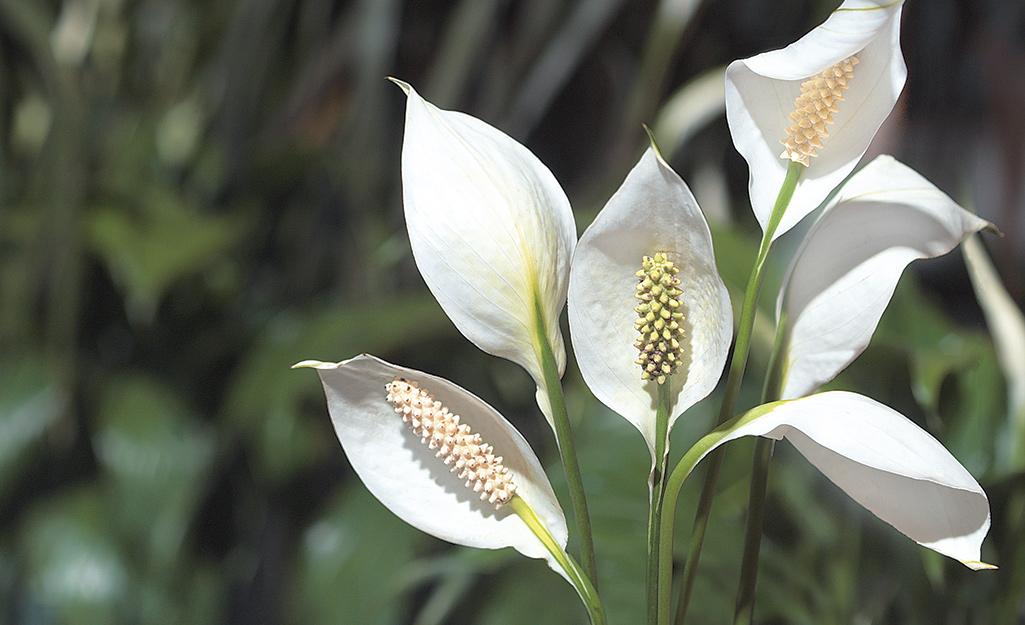 Hoa huệ hòa bình (Spathiphyllum)