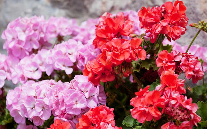 5 Reasons to Love Geraniums: