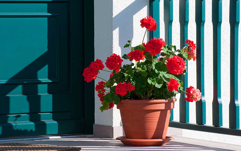 Other Types of Geraniums: