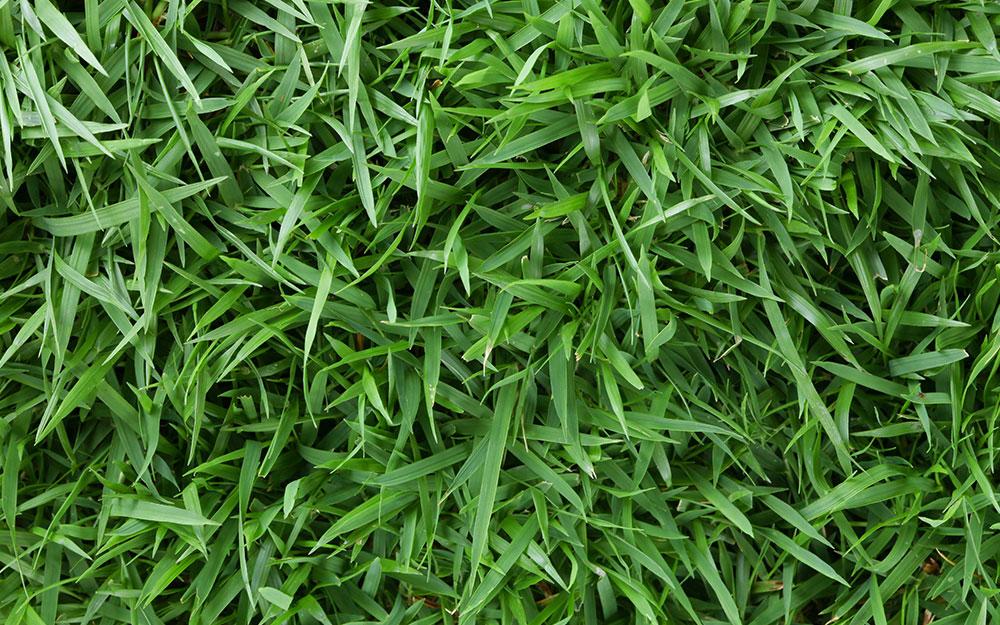 Zoysia grass.