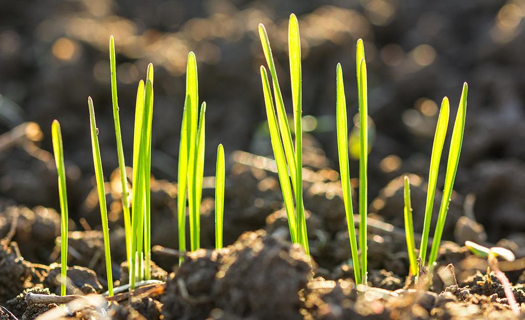Grass seedlings emerging from soil.