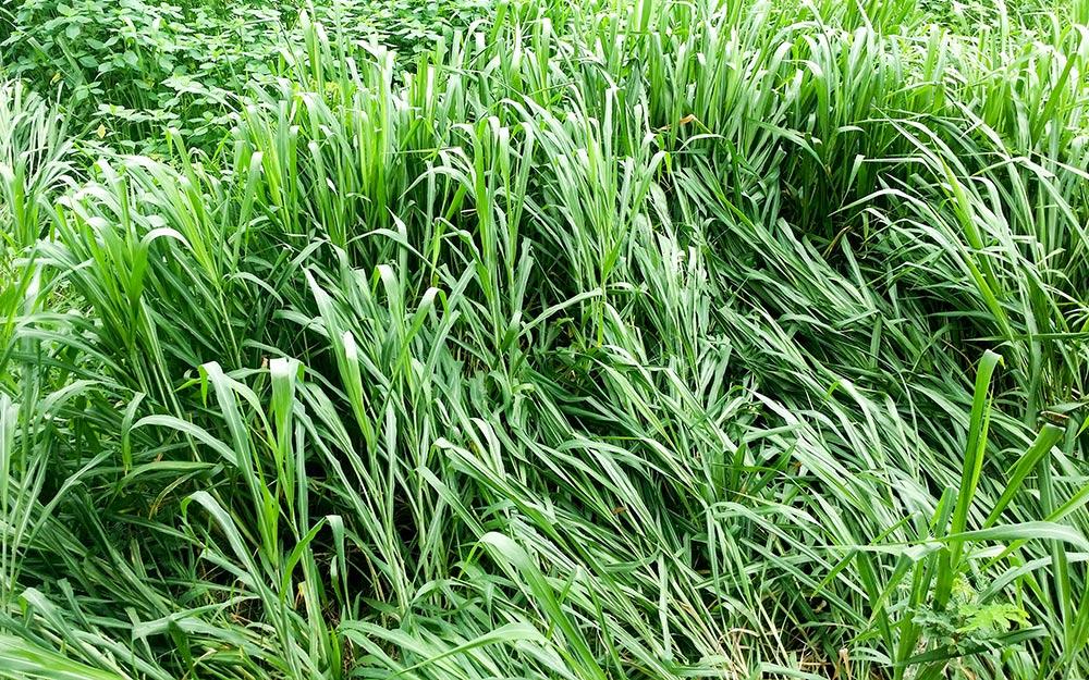 Buffalo grass.