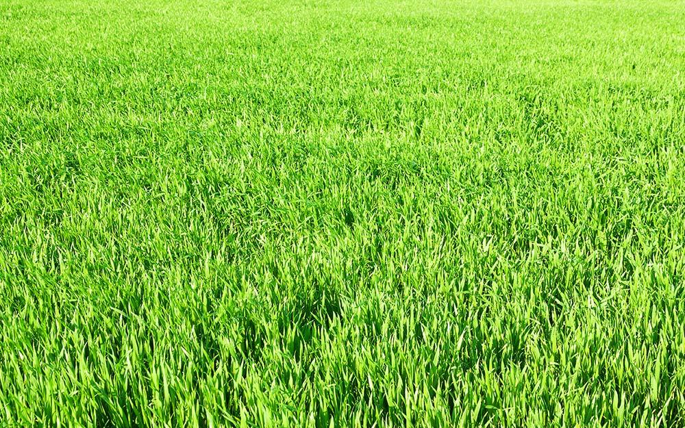 Perennial rye grass.