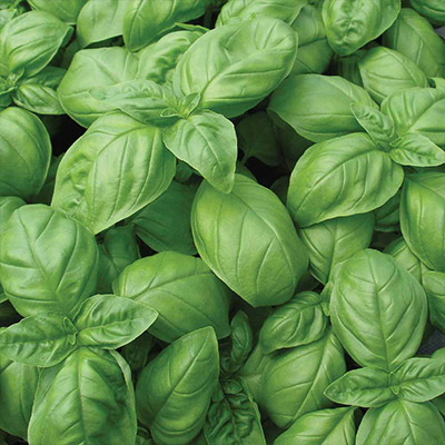 Grow a Bouquet of Beautiful Basil
