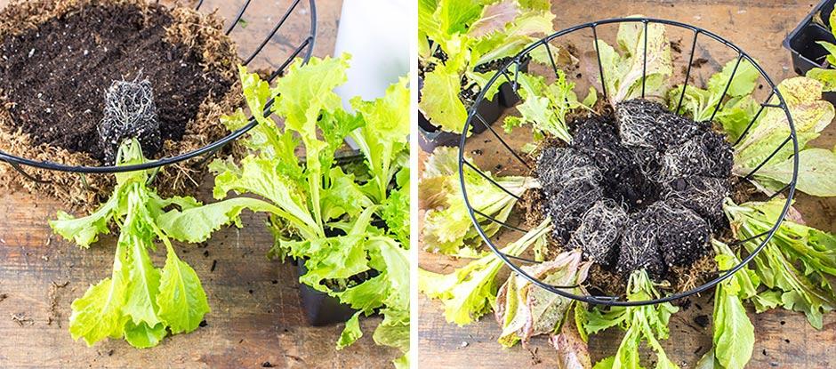 Lettuce seedlings layered in a metal hanging basket