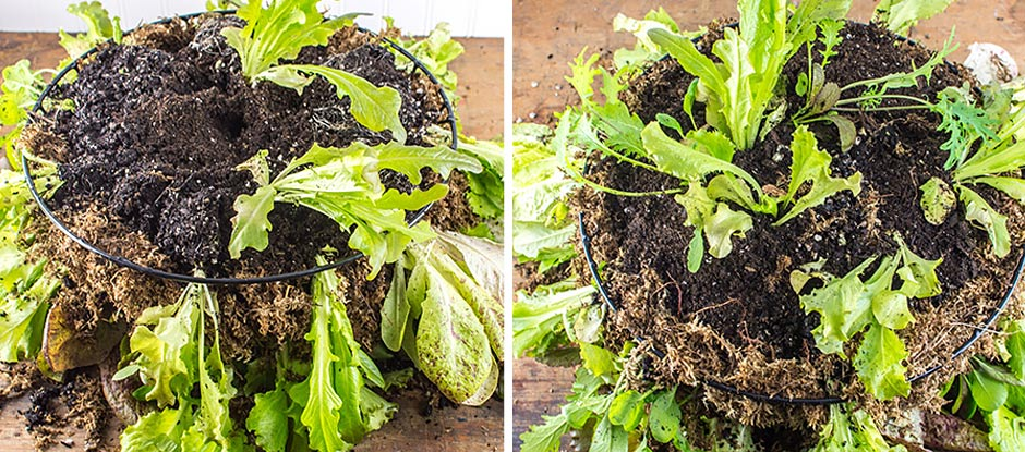 Lettuce seedlings layered with moss and potting soil