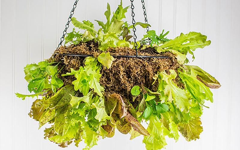 Hanging basket with lettuce plants