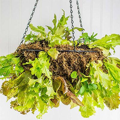 Lettuce seedlings growing in a hanging basket