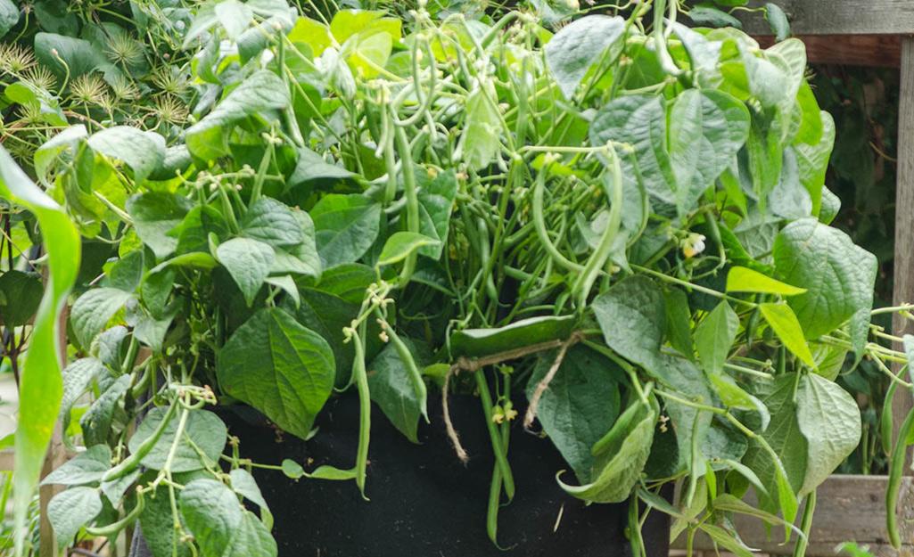 Đậu xanh trồng trong thùng