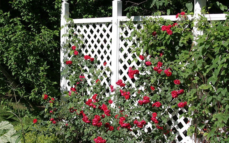 A Note on Climbing Roses: