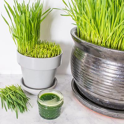 Grow Vitamin-W: DIY Wheatgrass