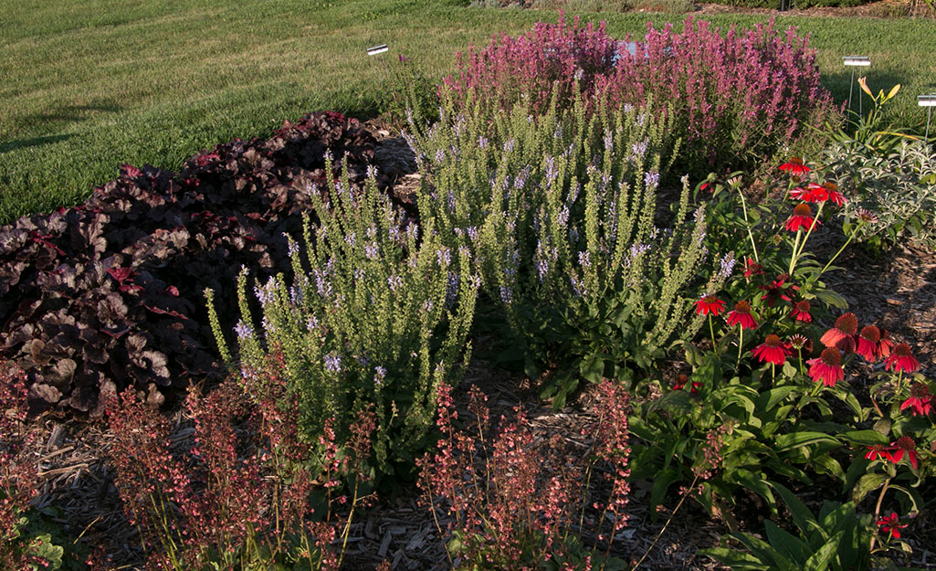 Salvia in a perennial flower bed