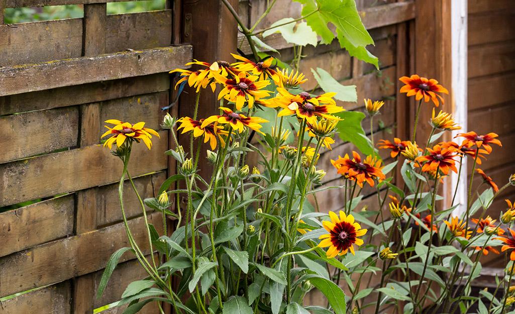 Gaillardia (blanket flower) in a garden