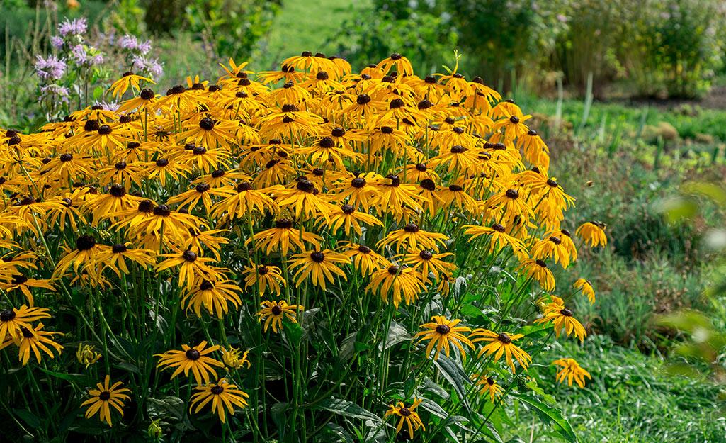 Rudbeckia in a flower garden