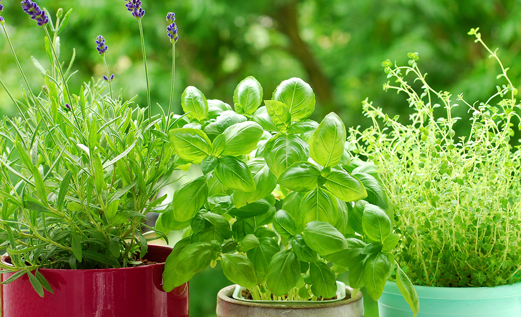 Basil, Rosemary and Other Heat-Loving Herbs