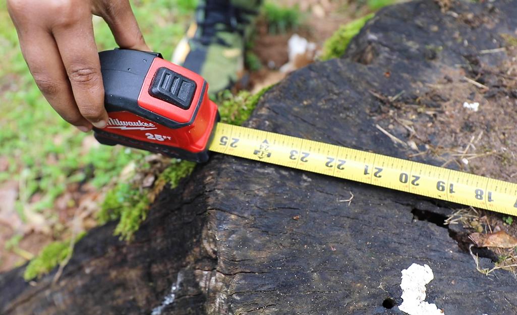 Một thước đo áp vào gốc cây.