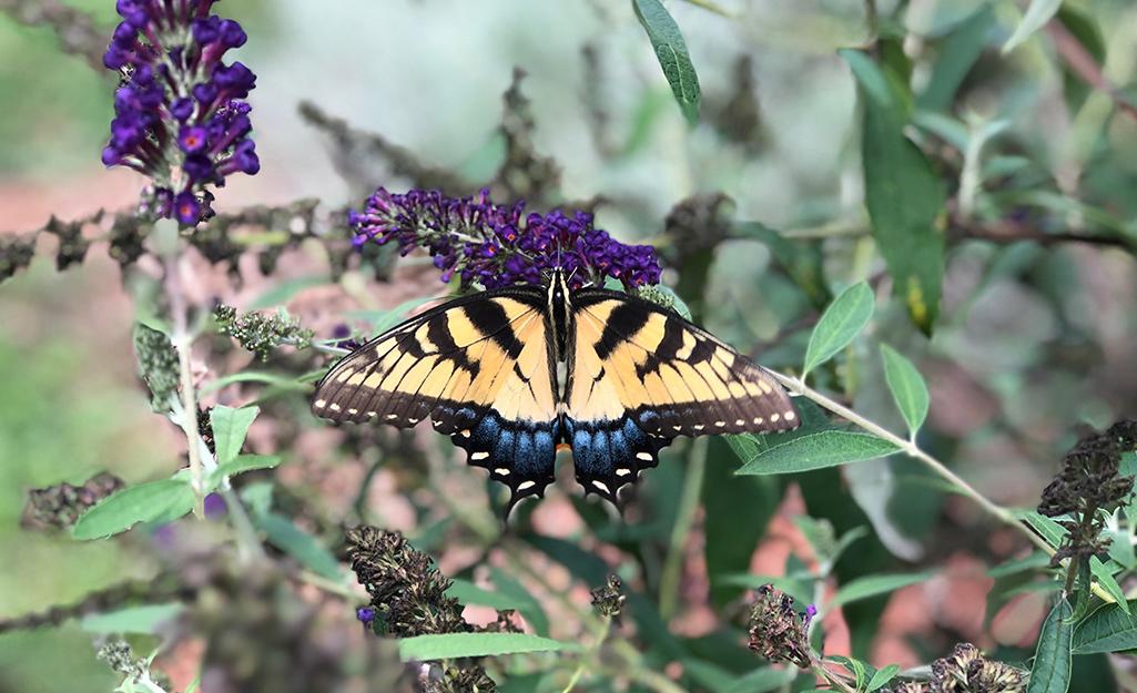 Yellow tiger swallowtail butterfly landing on butterfly bush.