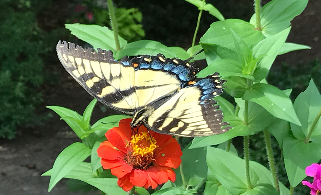 Yellow tiger swallowtail butterfly on orange zinnia.