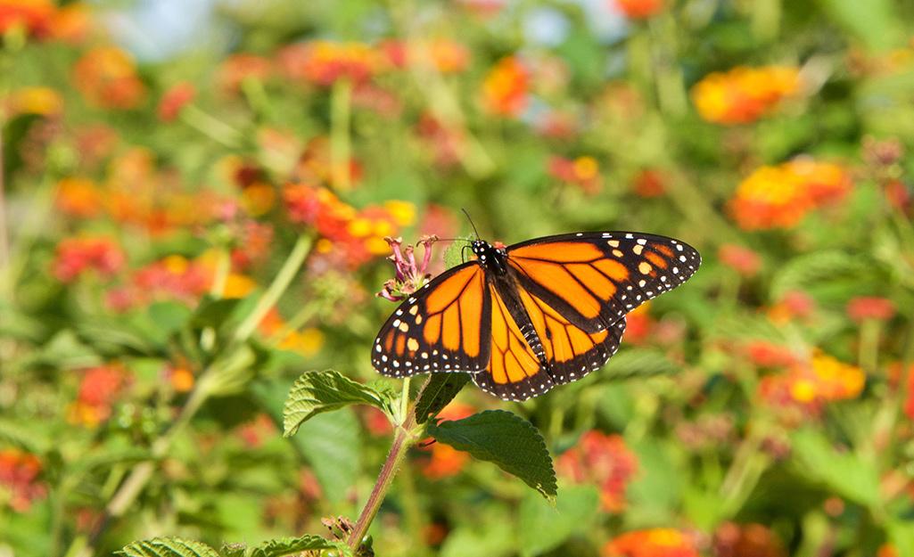 Butterfly landing on lantana.