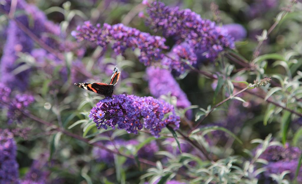 Butterfly landing on butterfly bush.