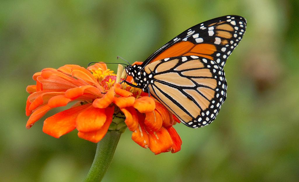 Monarch butterfly on orange zinnia.