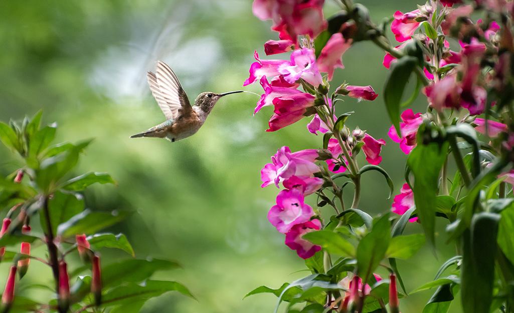 Hummingbird feeding on pink flowers.
