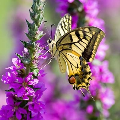 Yellow butterfly on purple flower.