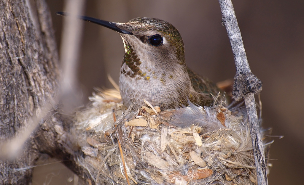 A hummingbird in a tiny nest on a tree branch.
